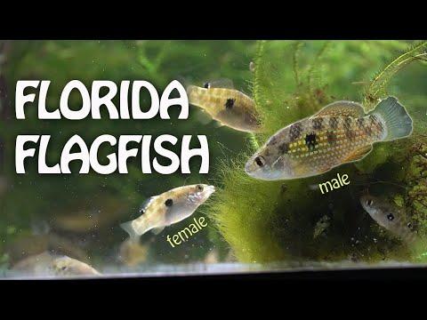 Spangled Algae Eating Fish!