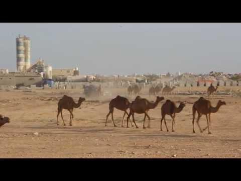 CAMELS @ TAQAH, DHOFAR, OMAN