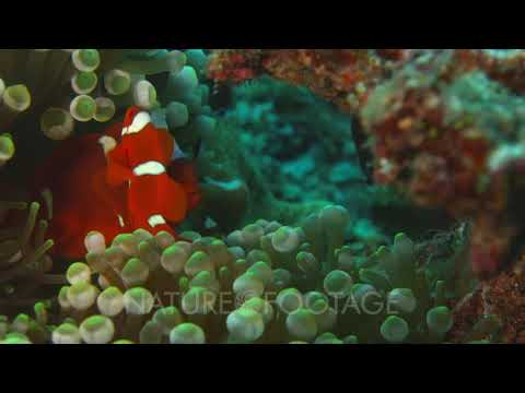 Pair Of Spine-Cheek Anemone Fish In Host