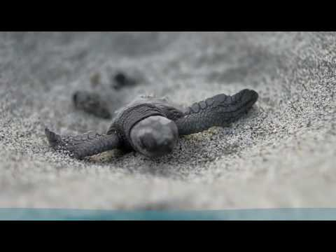 Sea Turtles Nesting On The Beaches Of Florida's Space Coast