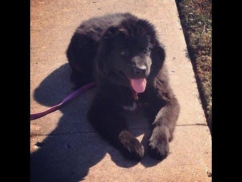 Tulsa Dog Training - Cherokee - 5 Month Newfoundland