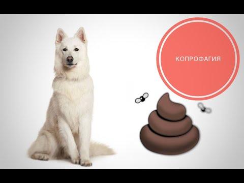 Вопрос: Каковы причины копрофагии у собак и как этого избежать?