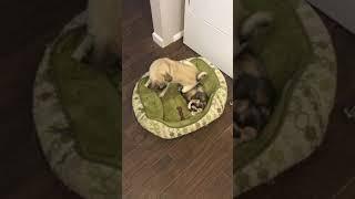 Devon Rex Scolds Puppy
