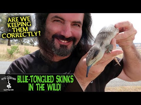 BLUE-TONGUED SKINKS IN THE WILD (are We Keeping Them Correctly?)
