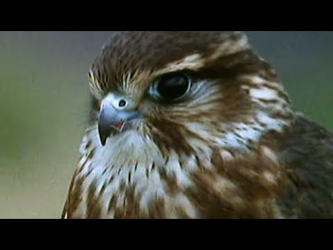 Secret Nature - Facts About Birds of Prey  | S01E05 | Bird Documentary | Natural History Channel