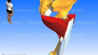Les muscles de la hanche : petit fessier, moyen fessier