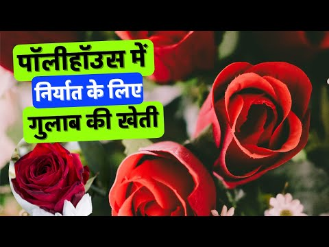 Rose cultivation in polyhouse for export