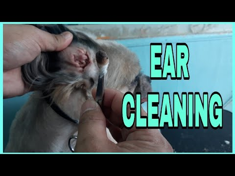 Ear cleaning by Mr.Groomer