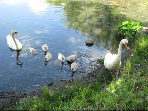 Rose and Mel, the mute swans and their 7 Cygnets