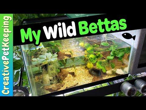 Wild Betta Fish 🐟 TANK UPGRADE | Betta Mahachaienisis