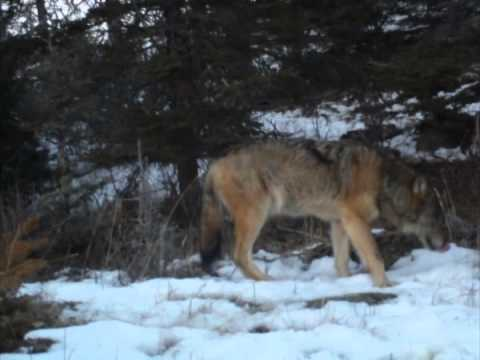 Only three wolves remain on Isle Royale