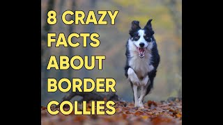 8 Crazy Border Collie Facts You Need To Know