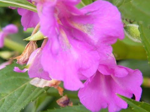 Вопрос: Цветы похожие на бальзамин, как называются, фото?