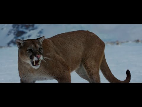 The Mountain Between Us (2017) | Mountain Lion Attack Sene[HD]