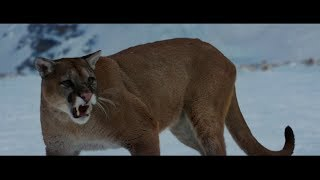 Download Video The Mountain Between Us (2017) | Mountain Lion Attack Sene[HD] MP3 3GP MP4