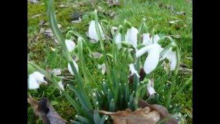 First Flowers / первые цветы / Pirmosios Geles
