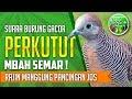 Suara Burung Perkutut Mbah Semar Lagi Konser Pancingan Mujarab  Mp3 - Mp4 Download