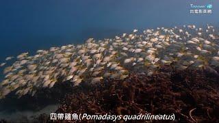 瑚光珊色 墾丁珊瑚礁生態影片--蝴蝶魚VI
