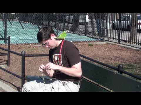 Kili Senegal Parrot – Flights at Park Wearing Harness