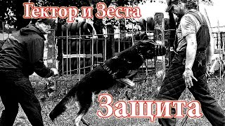 """Подготовка по защите УДЦ """"Гелион"""": Две немецкие овчарки. Работа по защите."""
