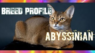Abyssinian Cats! (Breed Profile)