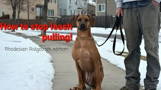 How to STOP leash pulling with your Rhodesian Ridgeback