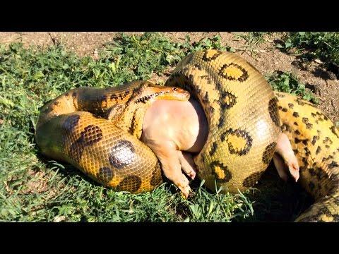 Anaconda Eats a Pig