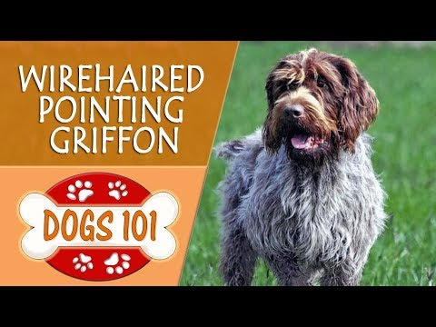 Dogs 101 - WIREHAIRED POINTING GRIFFON - Top Dog Facts About the WIREHAIRED POINTING GRIFFON