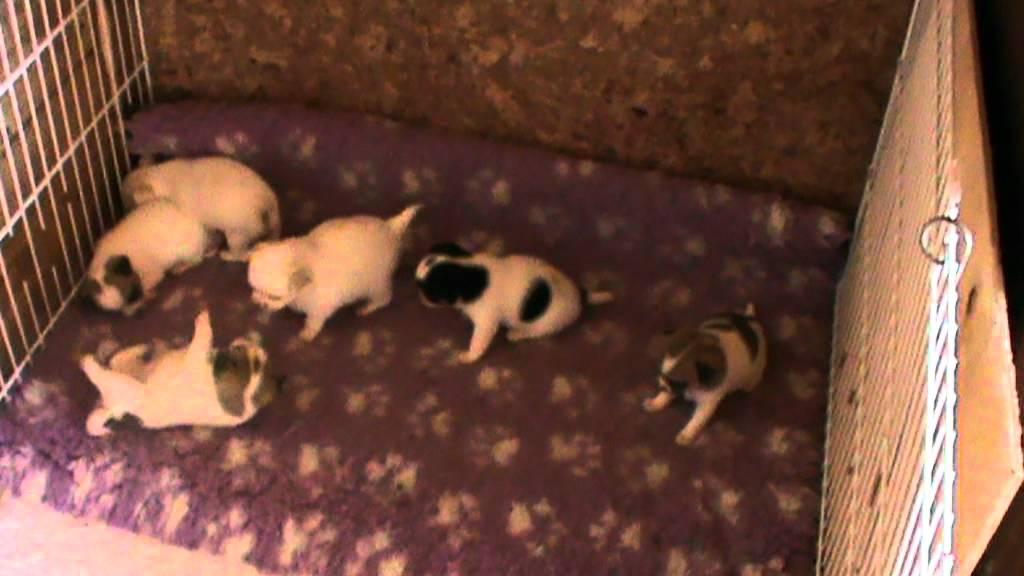 месячные щенки чихуахуа фото