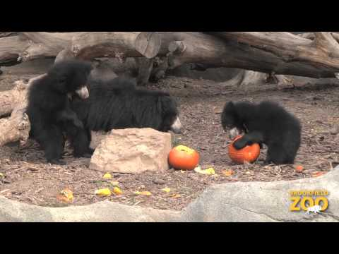 Pumpkin Treats to Brookfield Zoo Animals