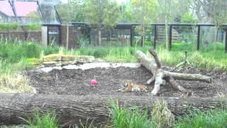 Tiger Cubs at ZSL London Zoo