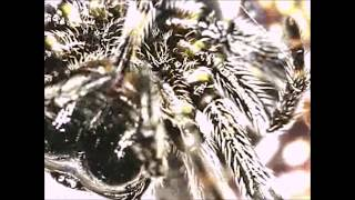 Spider Silk Extraction! Spiny Orb Weaver