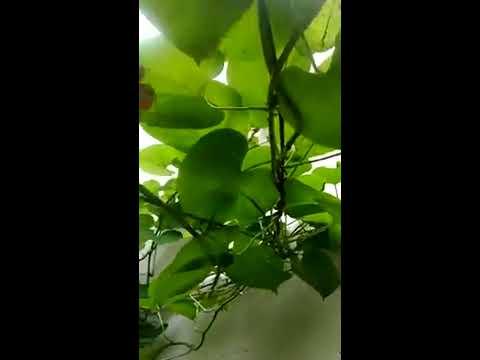 Giloyi vine 🍀best shade provider or health benefits