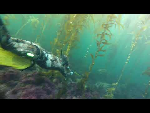 SoCal Kelp Forest Spearfishing