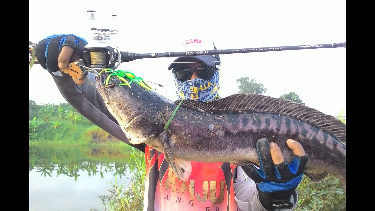No. 8 BLACKOUT Baitcasting Prisen Giant Snakehead fishing Form Thailand ตกปลาชะโด