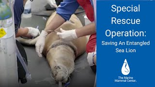 Special Rescue Operation: Saving an Entangled Sea Lion