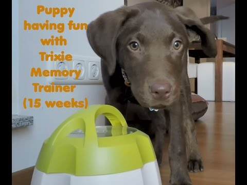 Labrador puppy Boomer having fun with Trixie memory trainer