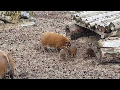 A group of Red River hogs including piglets