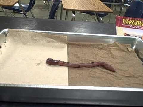earthworm lab report This is a hands-on lab activity, appropriate for grades 3-7, that investigates the earthworm you'll need live earthworms, paper towels, water, vinegar and eyedroppers.