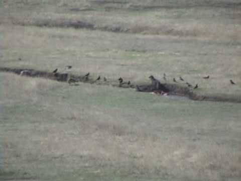 Lone wolf battles four coyotes