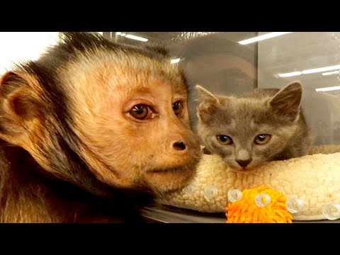 Capuchin MonkeyBoo Shops at PetSmart!