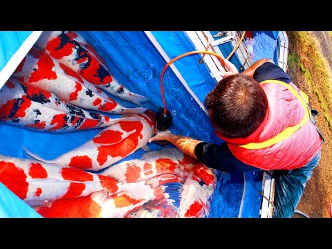 THE WORLD OF KOI - BUYING KOI IN JAPAN 2018