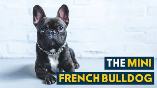 Mini French Bulldog: All the Love and Charm in A Smaller Body!