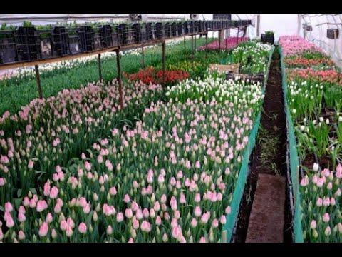Топпинг Тюльпана. Что делать? Выгонка тюльпанов к 8 марта в январе 2020 Tulip Distillation 2020