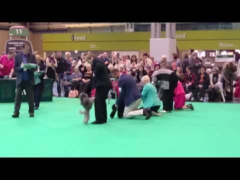 Toy Poodles crufts 2015
