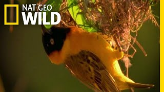 Home Renovating with Nesting Birds | Nature Tech