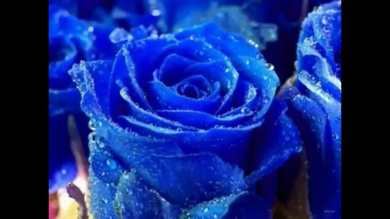 The most beautiful types of for Buy black and blue roses