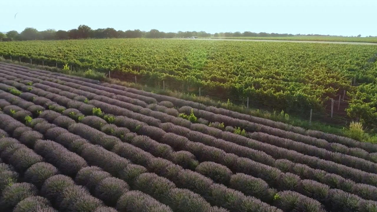 Moldova's lavender fields flourish after post-Soviet decline | AFP