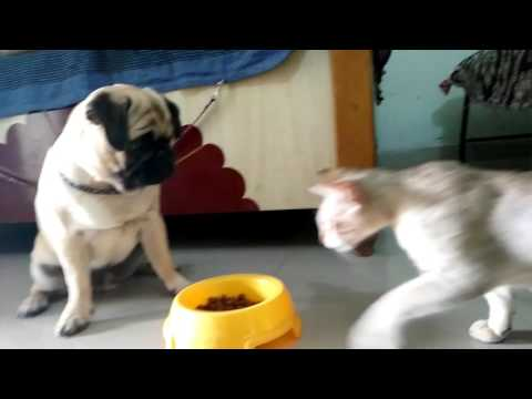 Dog and cat fighting for pedigree funny
