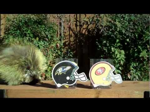 Teddy Bear the Porcupine Predicts the Winner of Super Bowl XLVII!